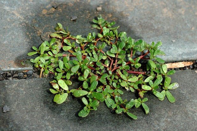 Wild purslane growing between my paving stones by Eve Fox, the Garden of Eating, copyright 2015