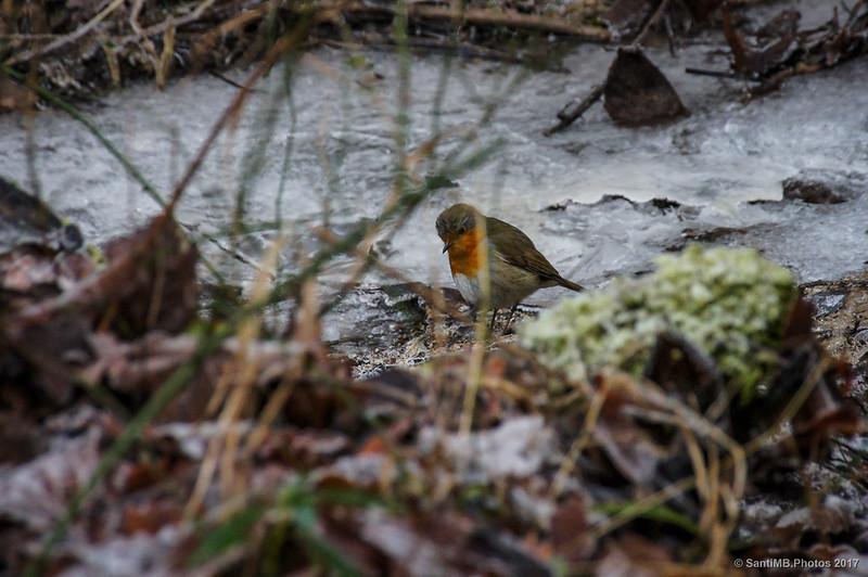 Petirrojo en el arroyo helado de La Comellassa