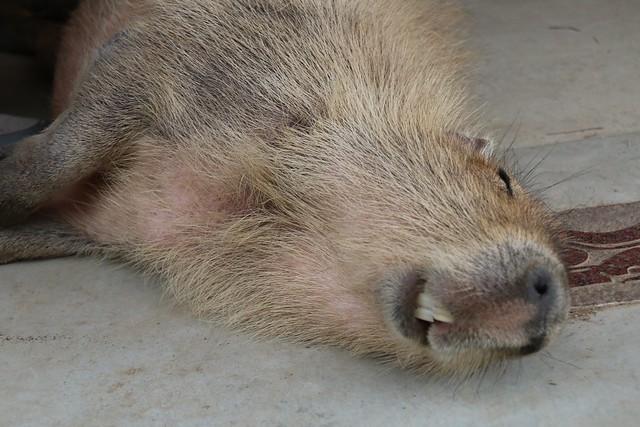 カピバラ Capybara
