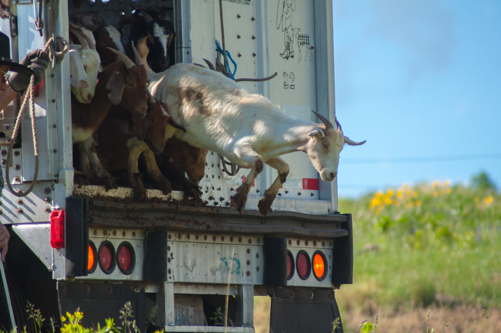 Goat landing on Bozeman Fish Technology Center - On June 8 ...