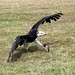 A flying vulture coming in to land