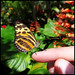 Harmonia Tiger Butterfly