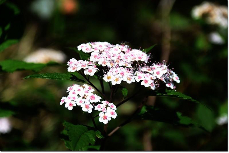 玉山繡線菊 3