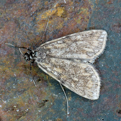 63.114 Brown China-mark - Elophila nymphaeata