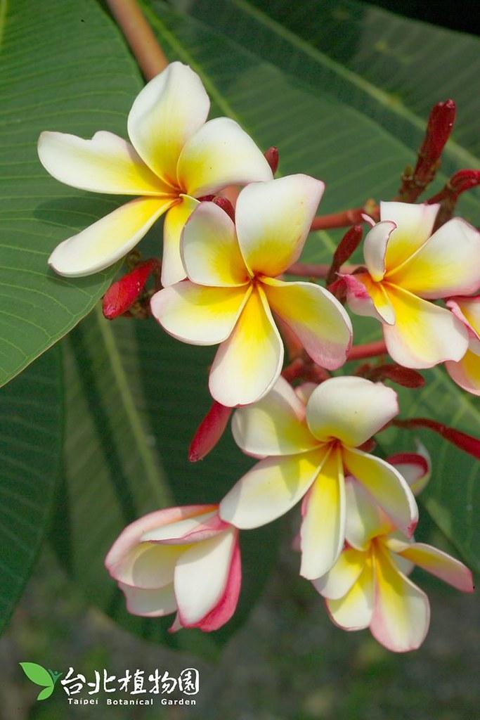 雞蛋花(紅花緬梔)。圖片來源:台北植物園。