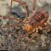 Harvestman-Opiliones; Tithaeus sp. (?)