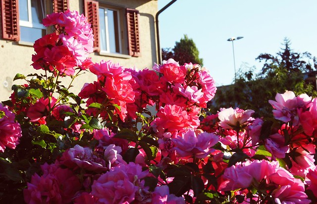 evening + roses