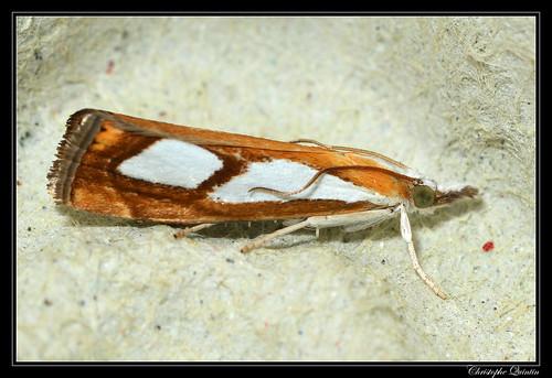 Catoptria pinella