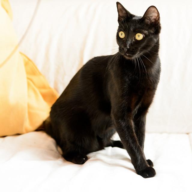 Selva, gatita Pantera guapa, estilizada y divertida esterilizada, nacida en Mayo´16, en adopción. Valencia. ADOPTADA. 32605823930_b8c5ddef31_z