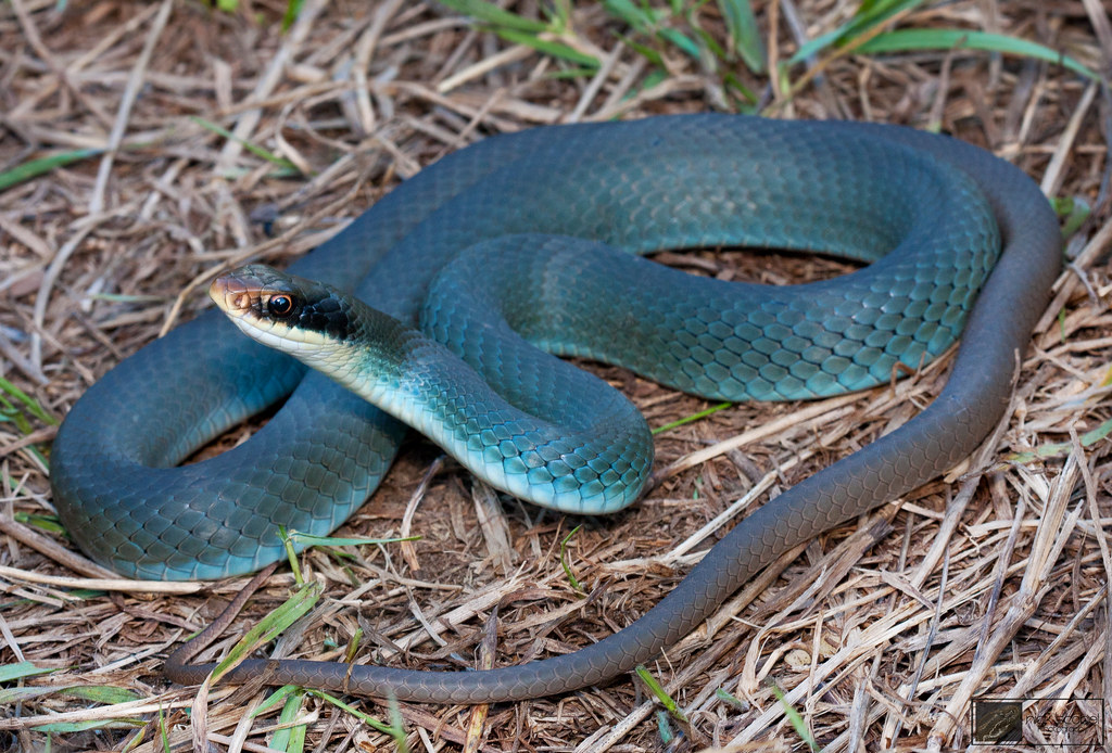 Blue Racer | Coluber constrictor foxii One of three adults ...
