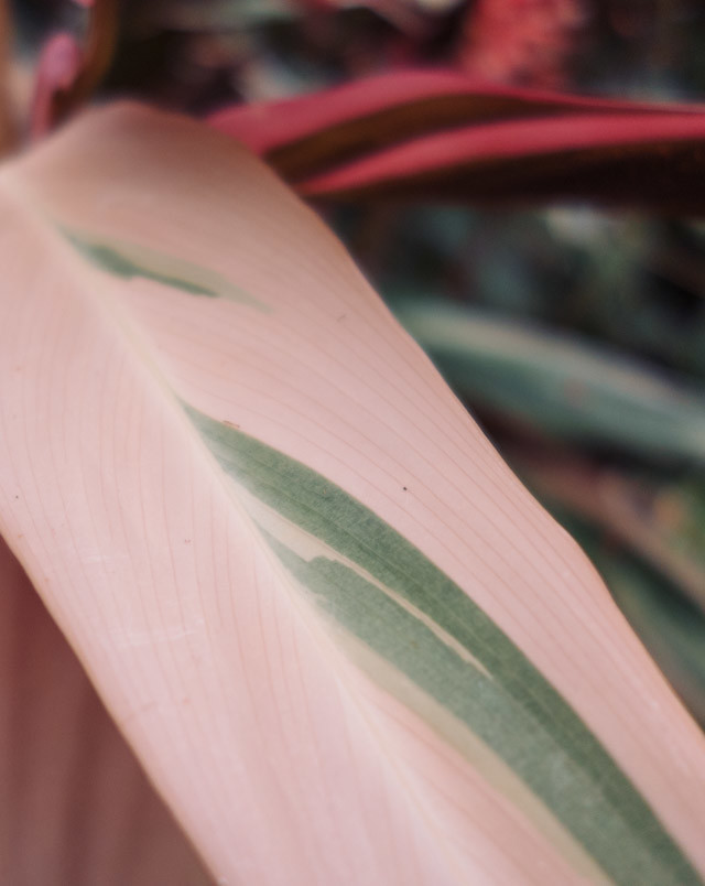 close up of pink leaf