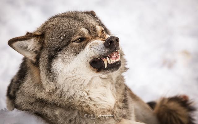 angry grey wolf - photo #9