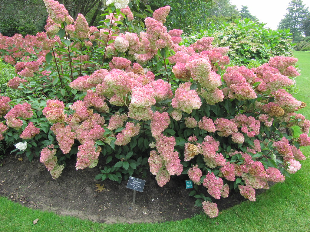 hydrangea paniculata 39 vanille fraise 39 rhs wisley gardens. Black Bedroom Furniture Sets. Home Design Ideas