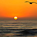 Torrey Pines Sunset w Seagull - digital paint effect