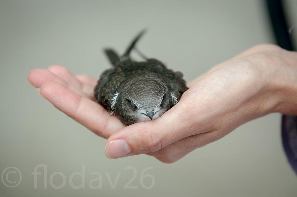 oiseau tomb du nid florent davoult flickr. Black Bedroom Furniture Sets. Home Design Ideas