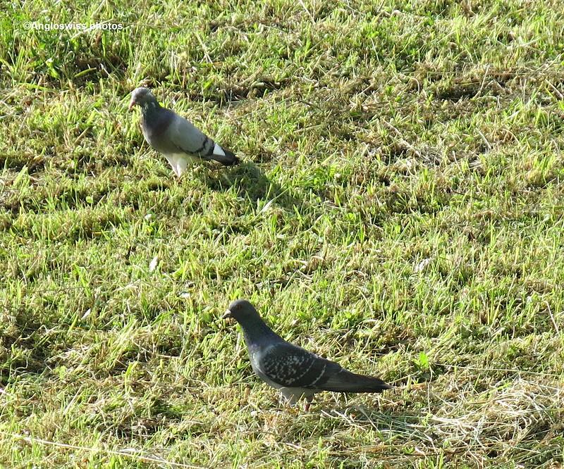 Large pigeons