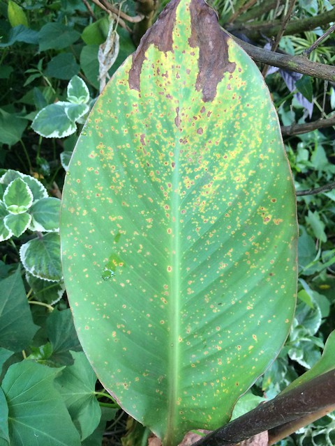 Autos By Nelson >> Canna lily (Canna indica): Rust, caused by Puccinia thaliae | Flickr - Photo Sharing!
