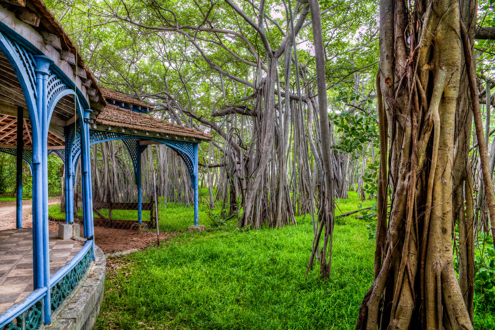 The ancient Banyan Tree of Adyar