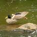 Duck yoga