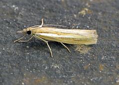 63.092 Pale-streak Grass-veneer - Agriphila selasella
