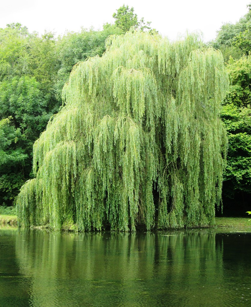 Weeping Willow On Pond By Broad Oak 2 Leimenide Flickr
