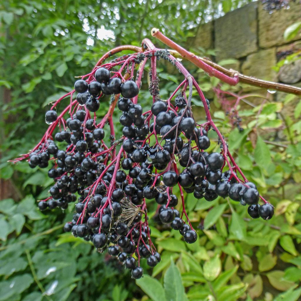 Elderberries Tim Green Flickr