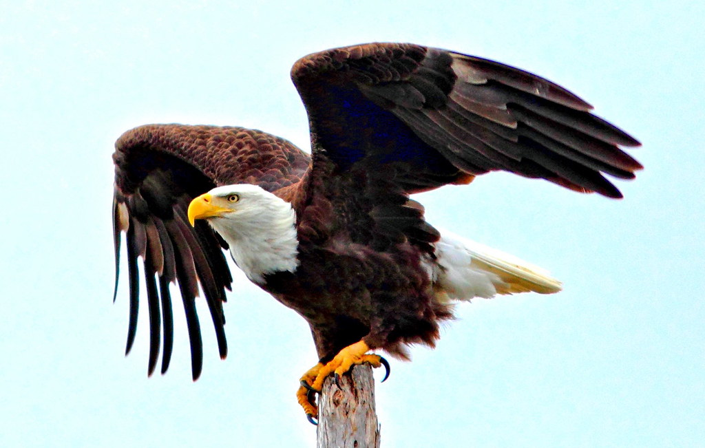 Bald Eagle Spreading Wings CROP HDR 20120116 HDR From