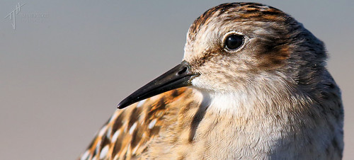 Portrait of a Least Sandpiper (Calidris minutilla) | by timjhopwood