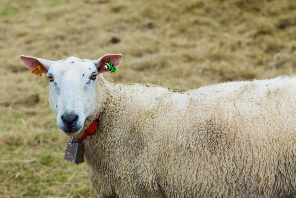 Sheep-25