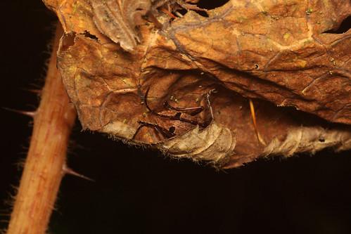 ハリブキの枯葉