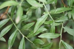 G2 - Max Rebenaque - pistacia lentisus- llentiscle (3)