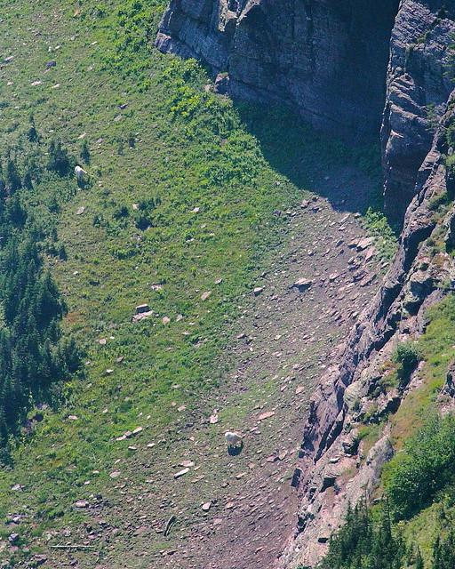 IMG_2083 Mountain Goat, Glacier National Park