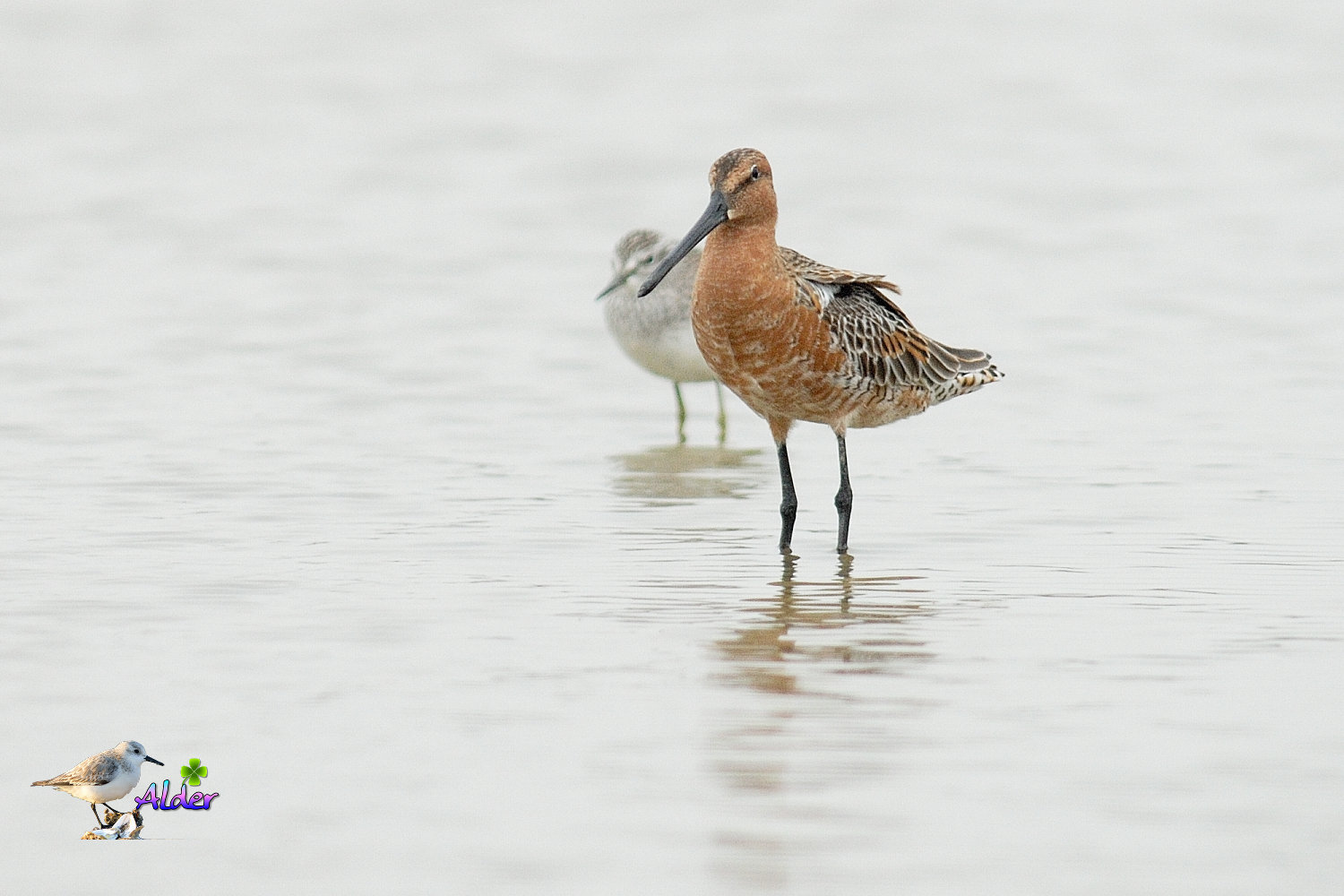 Asian_Dowitcher_6246