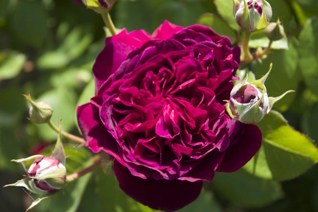 englische rose william shakespeare austin 2000 flickr. Black Bedroom Furniture Sets. Home Design Ideas