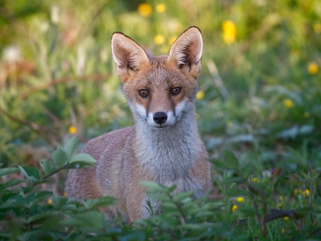 Fox cub face_3