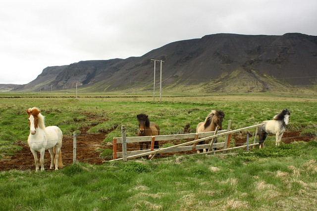 The sociable Icelandic horse
