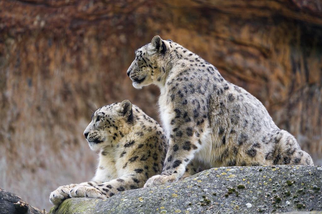 hd wallpaper snow leopard