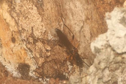 オオホソコバネカミキリ