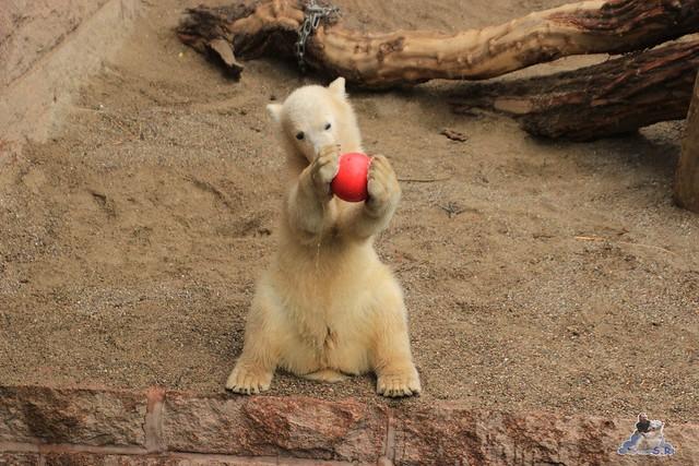 Eisbär Fiete im Zoo Rostock 14.06.2015  28