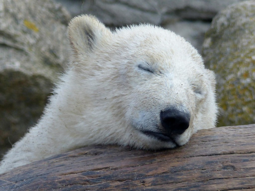 Polar Bear Lale today, so tired:) (explore 2014-06-09 ...