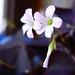 fleur de trèfle de nuit