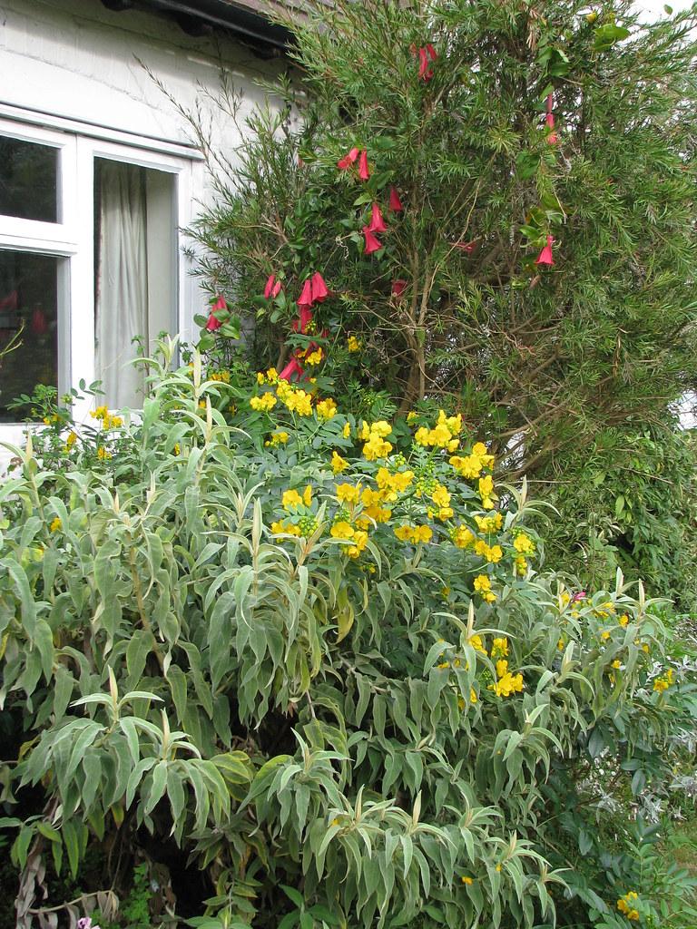 Lapageria rosea, Senna corymbosa & Buddleja salviifolia