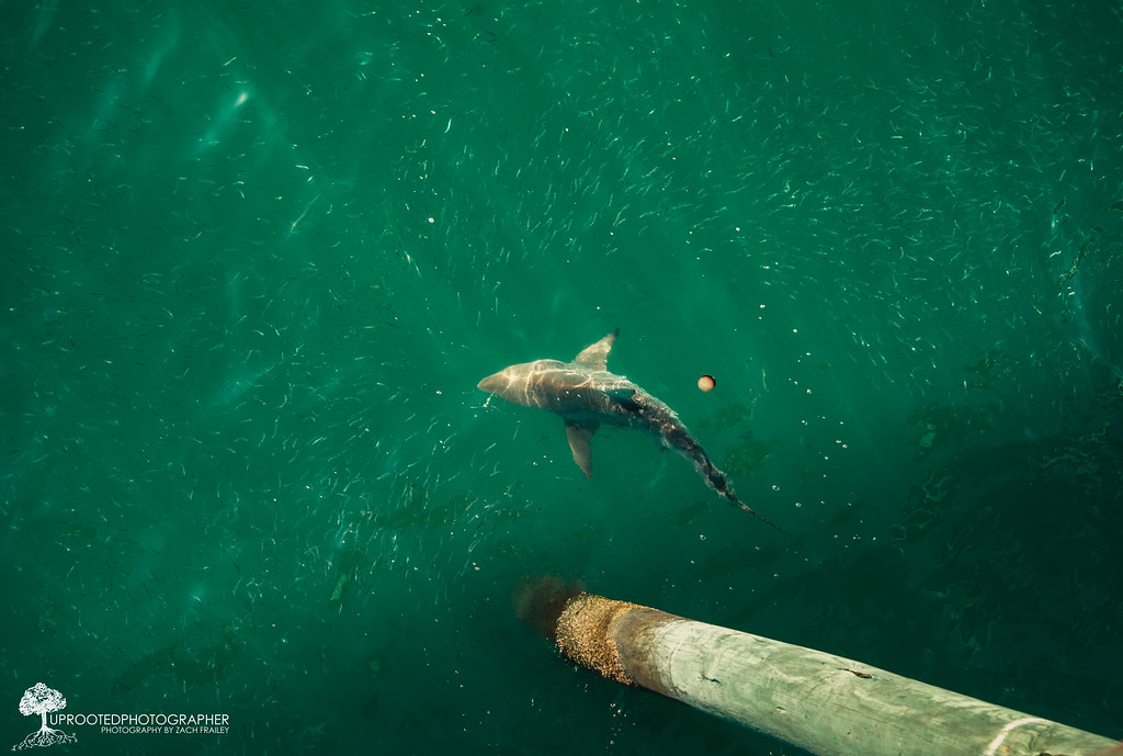 Shark at the bogue inlet pier emerald isle nc for the for Shark fishing nc
