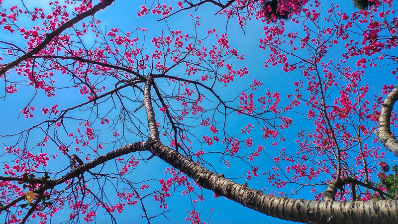 中正紀念堂櫻花花況3月28日拍攝|中正紀念堂賞櫻地圖|原生櫻花區-大漁櫻-山櫻花-重瓣緋寒櫻