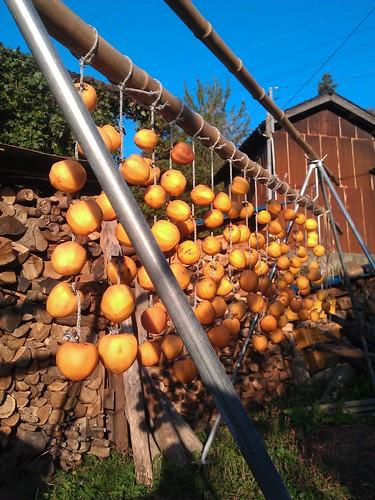 例年11月に入って、十分に気温が下がってから吊るす渋柿。今年は早々と色... 吊るし柿(干し柿)