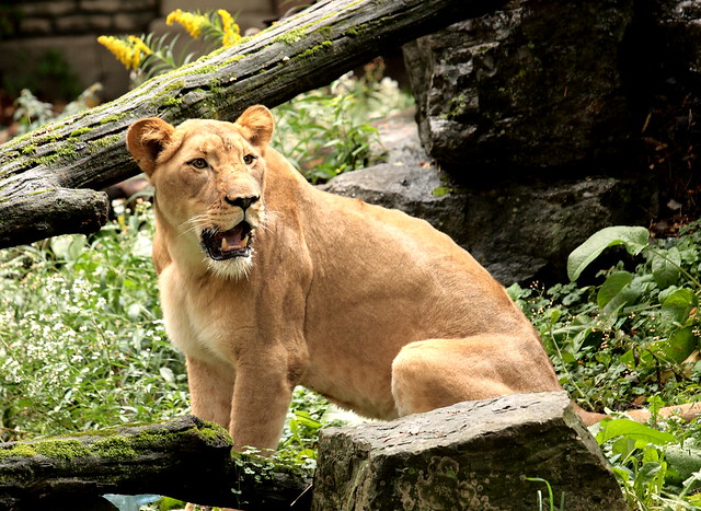 Roaring Lioness | Flickr - Photo Sharing!