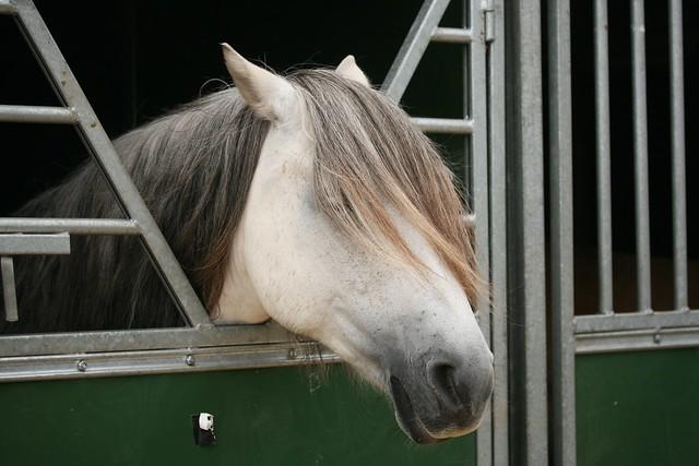 Highland Ponies