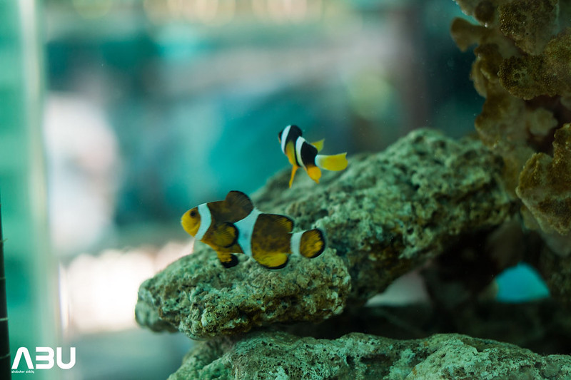 South African Allardi Clown Fish