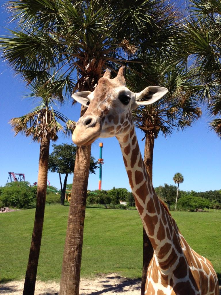 Busch Gardens Serengeti Safari Giraffe Our Serengeti Sa Flickr