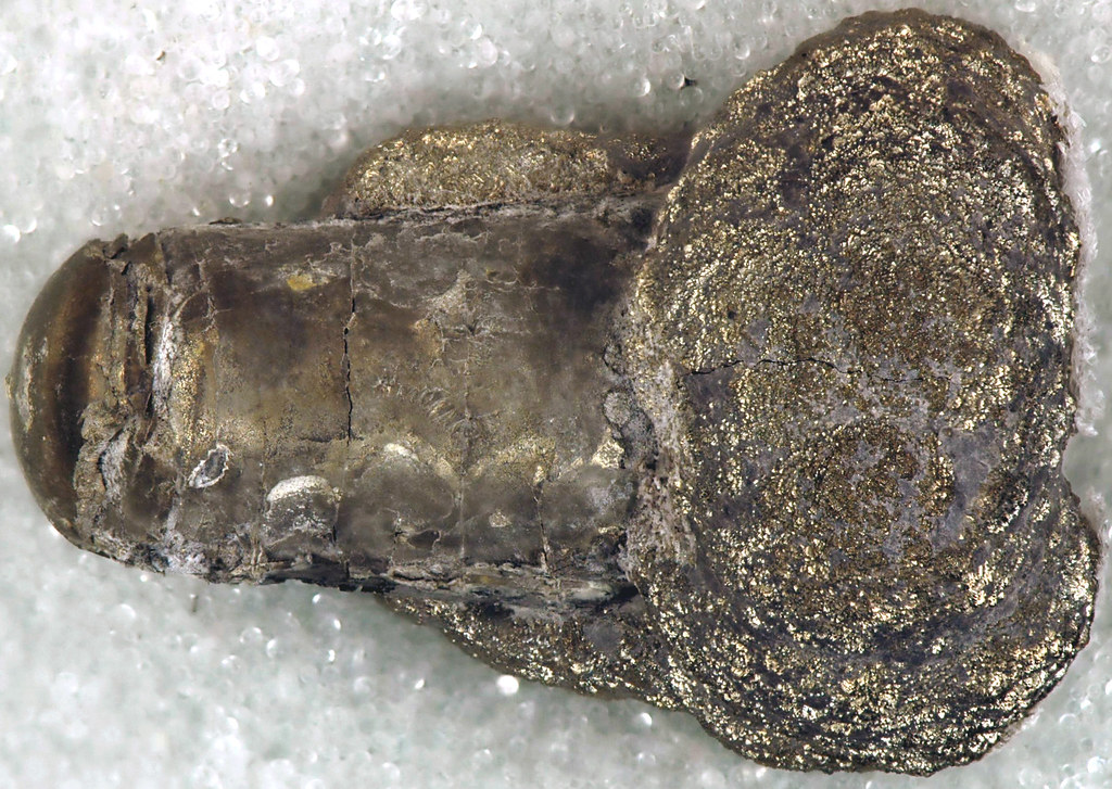 Michelinoceras aldenense fossil nautiloid (Alden Pyrite Be ...Michelinoceras Fossil
